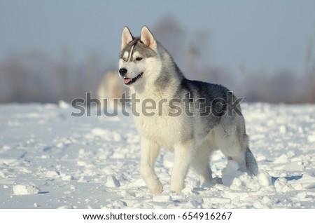Siberian Husky Dog Puppy Grey White Stock Photo Edit Now 654916267