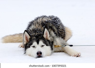 a siberian husky dog the is resting on the snow