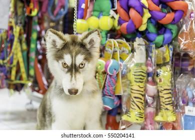 Siberian husky dog sitting in pet store