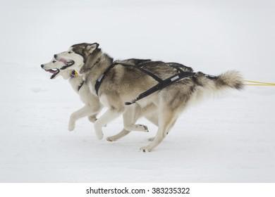 Siberian husky dog sledding race