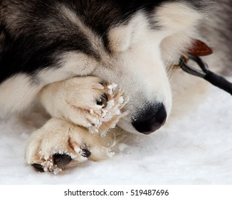 Siberian husky dog sleeping on a snow