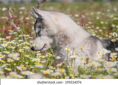Siberian Husky. Dog smelling flowers