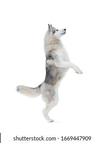 Siberian husky dog standing on hind legs, isolated over a white background. Sled dog isolated. White background