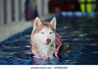 Siberian husky dog wear life jacket in swimming pool, dog swimming, dog activity
