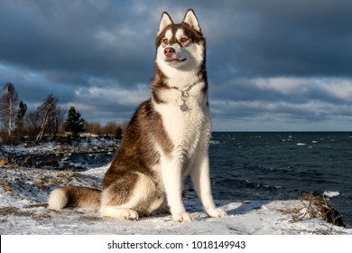 Siberian Husky. Dog. Winter.