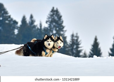 Siberian Husky dogs outdoors, Portrait of a husky dogs participating in the Dog Sled Racing Contest