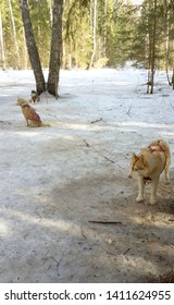 siberian husky dogs are waiting for dog sledding activity.
