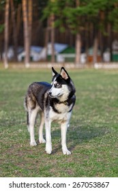Siberian Husky examines the surrounding area. She stands in the middle of the field. Fresh green grass grows after winter.