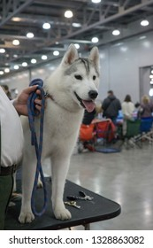 Siberian husky female standing on grooming table at dog show