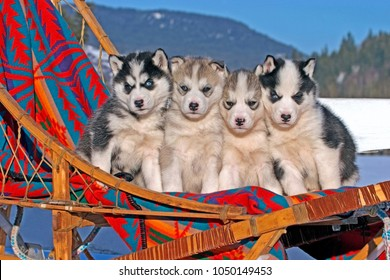 Siberian Husky, four adorable puppies, six weeks old together in dogsled