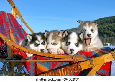 Siberian Husky, four puppies together in sleigh, outside, blue sky background