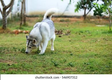 Siberian Husky in grass field, fluffy dog