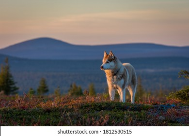 Siberian husky hiking in Lapland