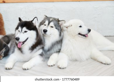 Siberian husky laying down and relaxing together