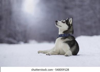 Siberian husky lies on the snow