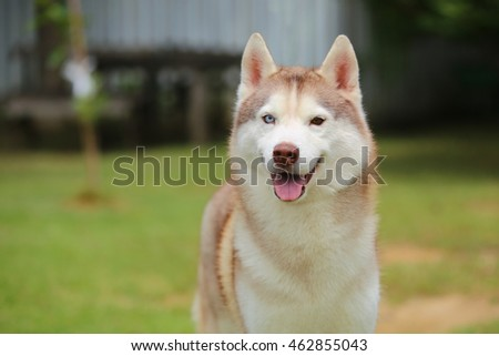 Siberian Husky Light Red White Colors Stock Photo Edit Now