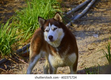 Siberian husky looking at camera.