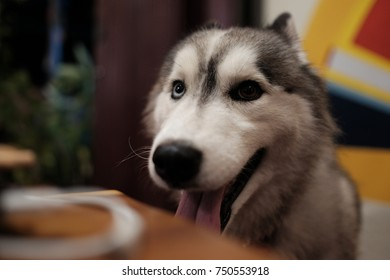 Siberian husky looking at you