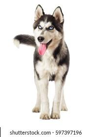 Siberian husky looks on white background