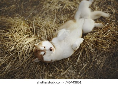 Siberian husky lying on the grass