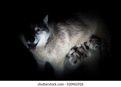 Siberian husky. Mother breastfeeding puppies.