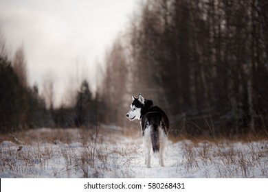 Siberian Husky on outdoors in the winter, snow, happy