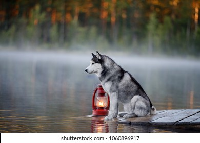 Siberian Husky on the shores of lake