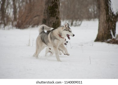 Siberian Husky on a winter walk