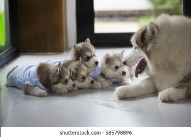 Siberian Husky is the one of the elegant dog and friendly for human to stay together. / huskies, puppy, snow dog, elegant, fur, running,teaching children,learning mom