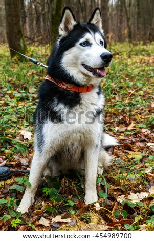 Siberian Husky Orange Collar Autumn Forest Stock Photo Edit Now