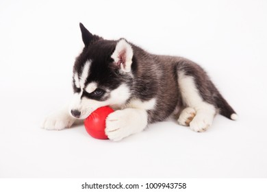 Siberian husky playing with a ball, in the studio on a white background.