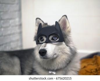 Siberian Husky portrait in a Batman mask