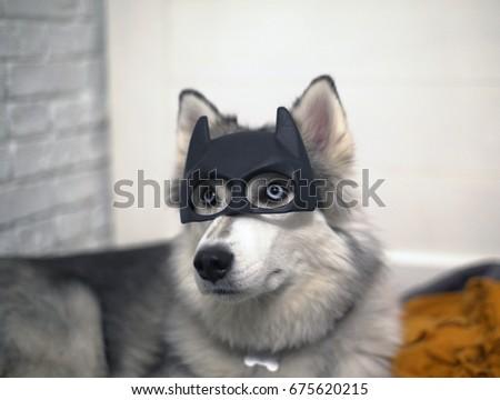 Siberian Husky portrait in