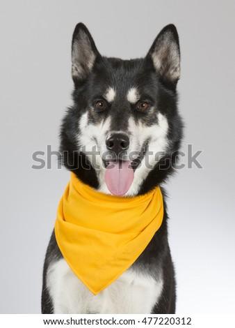Siberian Husky Portrait Dog Wearing Orange Stock Photo Edit Now