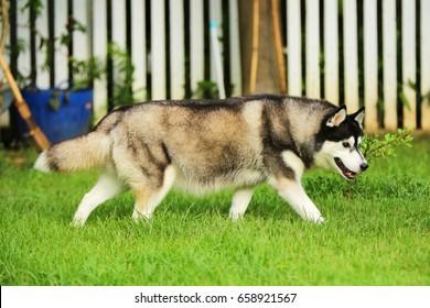 Siberian Husky pregnant, Dog pregnant