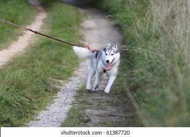 siberian husky pulling on the leash