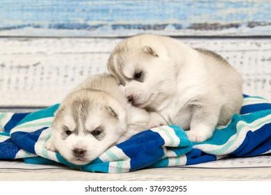 Siberian Husky puppies, age of 16 days