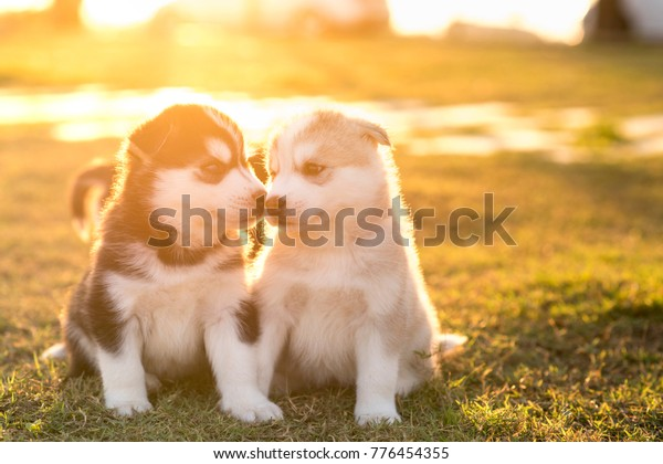Siberian Husky Puppies Kissing Each Other Stock Photo (Edit