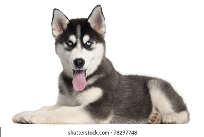Siberian Husky puppy, 4 months old, lying in front of white background
