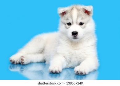 Siberian Husky puppy, age of 6 weeks