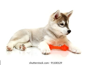 Siberian Husky puppy, age two months