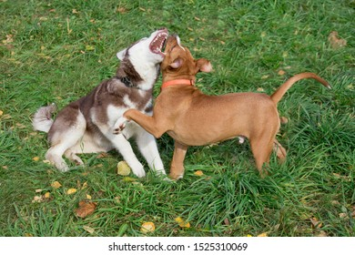 Siberian husky puppy and american staffordshire terrier puppy are playing on the autumn meadow. Pet animals.