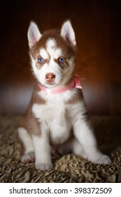 Siberian husky puppy with beautiful blue eyes