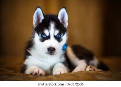 Siberian Husky Puppy Images Stock Photos Vectors