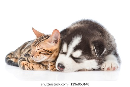 Siberian Husky puppy and bengal kitten sleeping together. isolated on white background