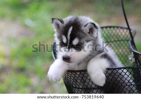 Siberian Husky Puppy Black White Color Stock Photo Edit Now