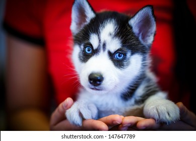 Siberian husky puppy with blue eyes
