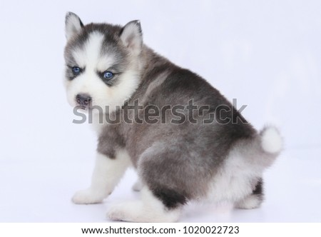 Siberian Husky Puppy Cute Blue Eye Stock Photo Edit Now 1020022723