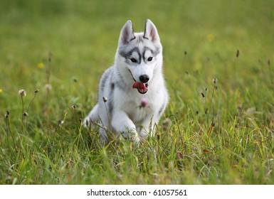 siberian husky puppy in the field