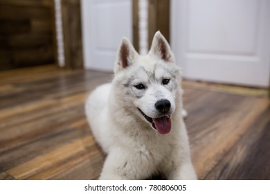Siberian husky puppy at home lying on the floor. lifestyle with dog.